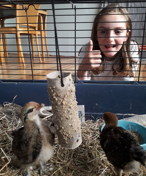 Sophie made her foster chickens some awesome enrichment!