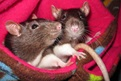 Check out these sweet baby girl rats!