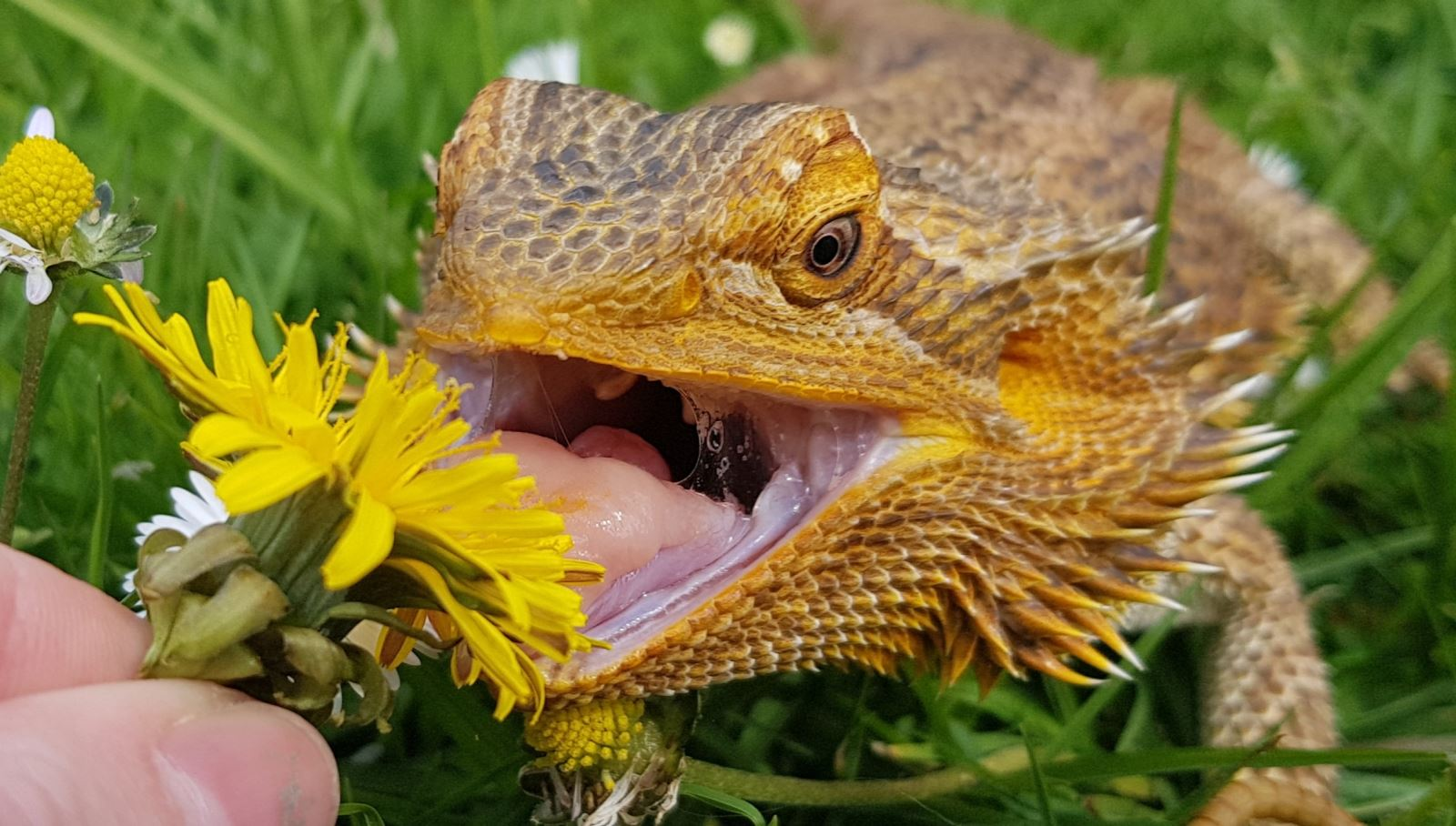 Animal Care - Bearded Dragon