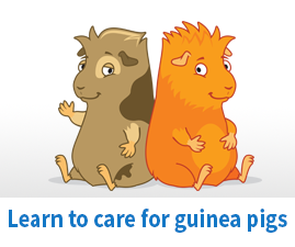 Learn to care for guinea pigs