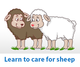 How to care for Sheep